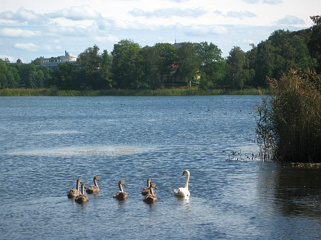 family of swans swimming in a stockholm sweden lake