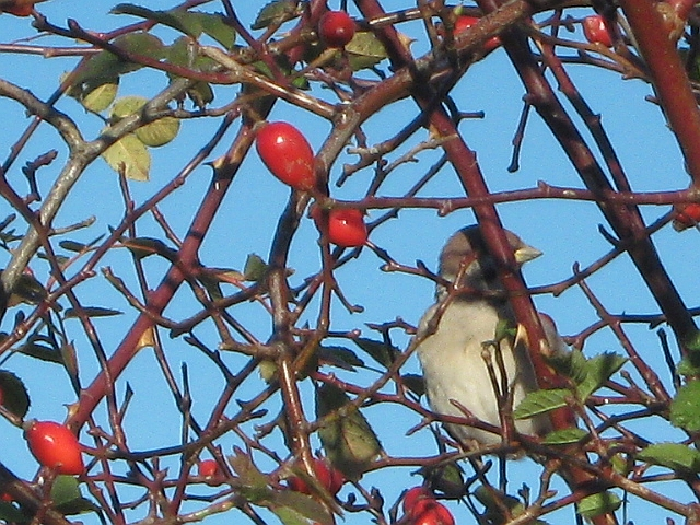 close up of sparrow in a bush