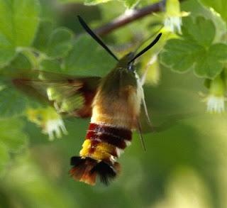 الطيور التي تضم أصغر Clearwing_hummingbird_moth