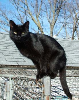 q animal te gustaria ser  Gato-negro