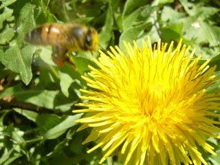 タンポポとハチ1