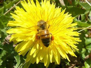 タンポポとハチ2