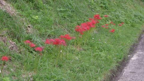 栗原のヒガンバナ