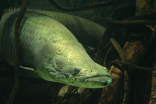 Ikan Arapaima Gigas