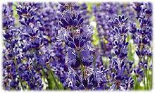 Lavendel - Pflanze des Jahres 2008
