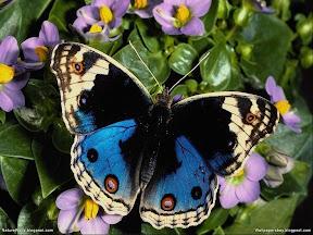 Butterflies | nature desktop wallpapers Images Photos
