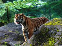 Tiger HD Desktop Wallpapers