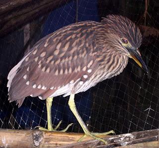 Night Heron Siargao Island Philippines