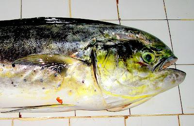 Tayang Tayang Dolphin Fish Siargao Philippines