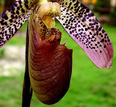 Jungle terror orchid