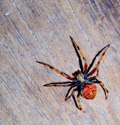 rabuls fighting spider Siargao Island Philippines