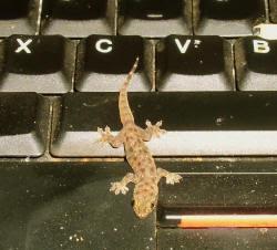 gecko on computer