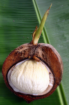 coconut with bubble as it sprouts