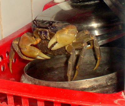 kayabang crab from Siargao Island, NE Mindanao, Philippines, home of Cloud 9 surfing spot