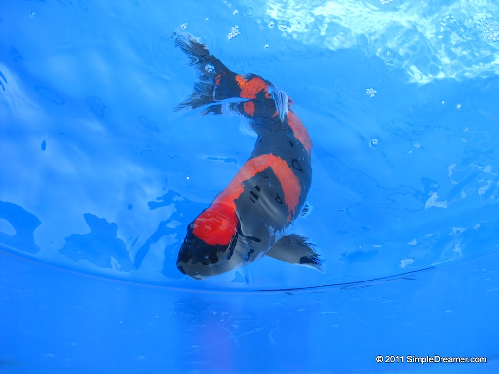 Hong kong travel blog photos videos tips www for Orange and black koi