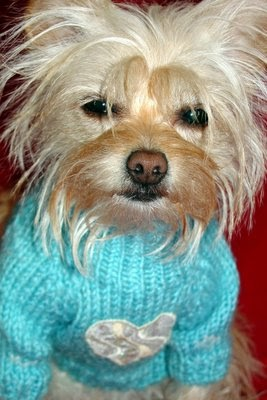 Miniature Yorkshire Terrier: Bad Hair Day for Yorkies!