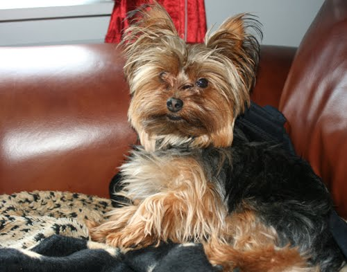 Miniature Yorkshire Terrier: The Summer Haircut For HOT Yorkies