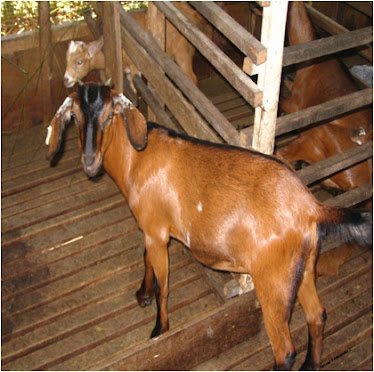 Breeding goats & sheep