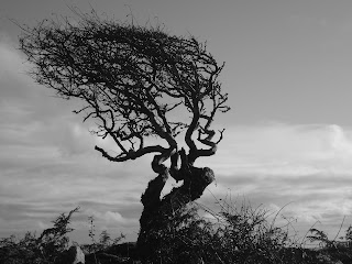 Cornish tree windswept by the prevailing wind of Cornwall