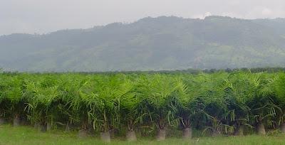 Palma aceitera mayo 2009 for Factores para seleccionar el terreno para el vivero
