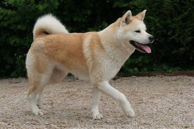 Akita Japanese Dog