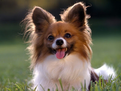 Papillon Small Dog
