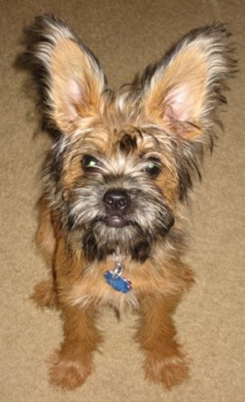 Pictures of Brussels Griffon