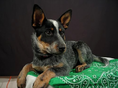 Australian Cattle Strong Dog