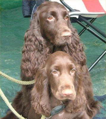 Field Spaniel Medium Sized Breed