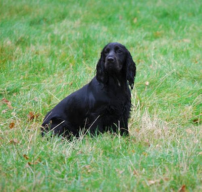 Field Spaniel Active Dog
