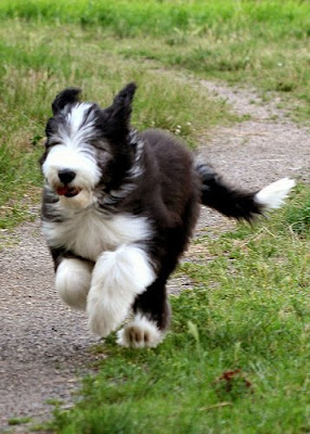 Bearded Collie Puppies Running