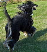 Afghan Hound Exotic Dog Breed From Afghanistan