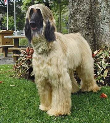 Photos of Afghan Hound Dog Breeds