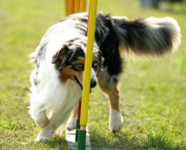 Pictures of Australian Shepherd Dog