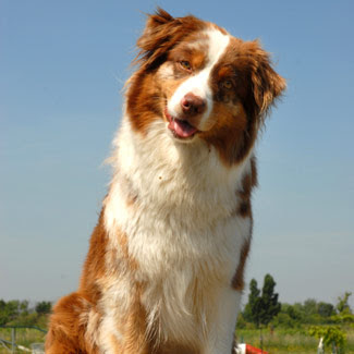 Australian Shepherd Dog Name