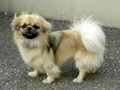 Pictures of Tibetan Spaniel Puppies