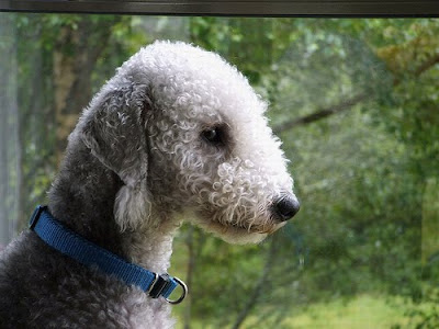 Bedlington Terrier Breed Dog