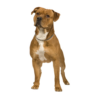 American Staffordshire Terrier Wallpapers