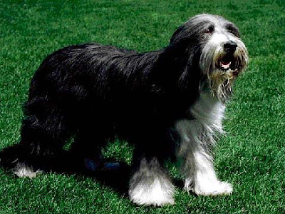 Bearded Collie Dog Wallpaper