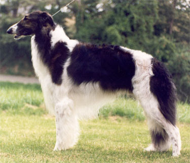 Borzoi Dog Picture Gallery