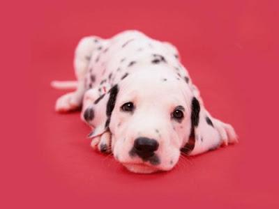Dalmatian Desktop Themes