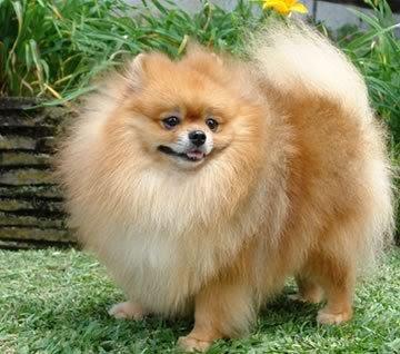 Fat Pomeranian