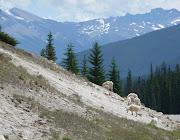 Big Horn sheep along Icefields Parkway