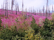 Miles of fireweed on 2004 burns ~ July 29, 2009