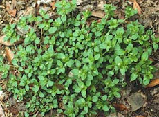 More chickweed desriptions