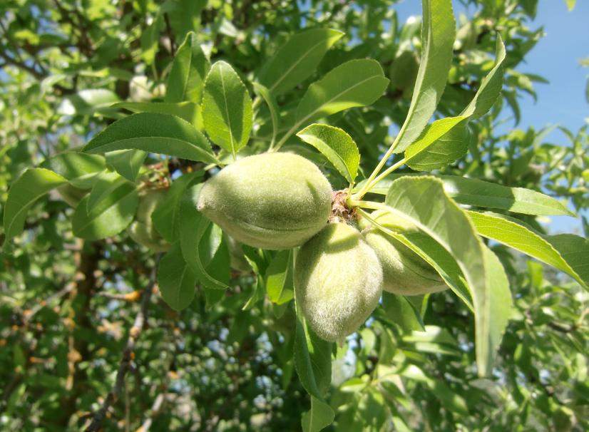 http://3.bp.blogspot.com/_Kr8YaC7qgVg/S-YlKz9nblI/AAAAAAAABpA/m-8YO8Ij9-k/s1600/Almond+Tree.png