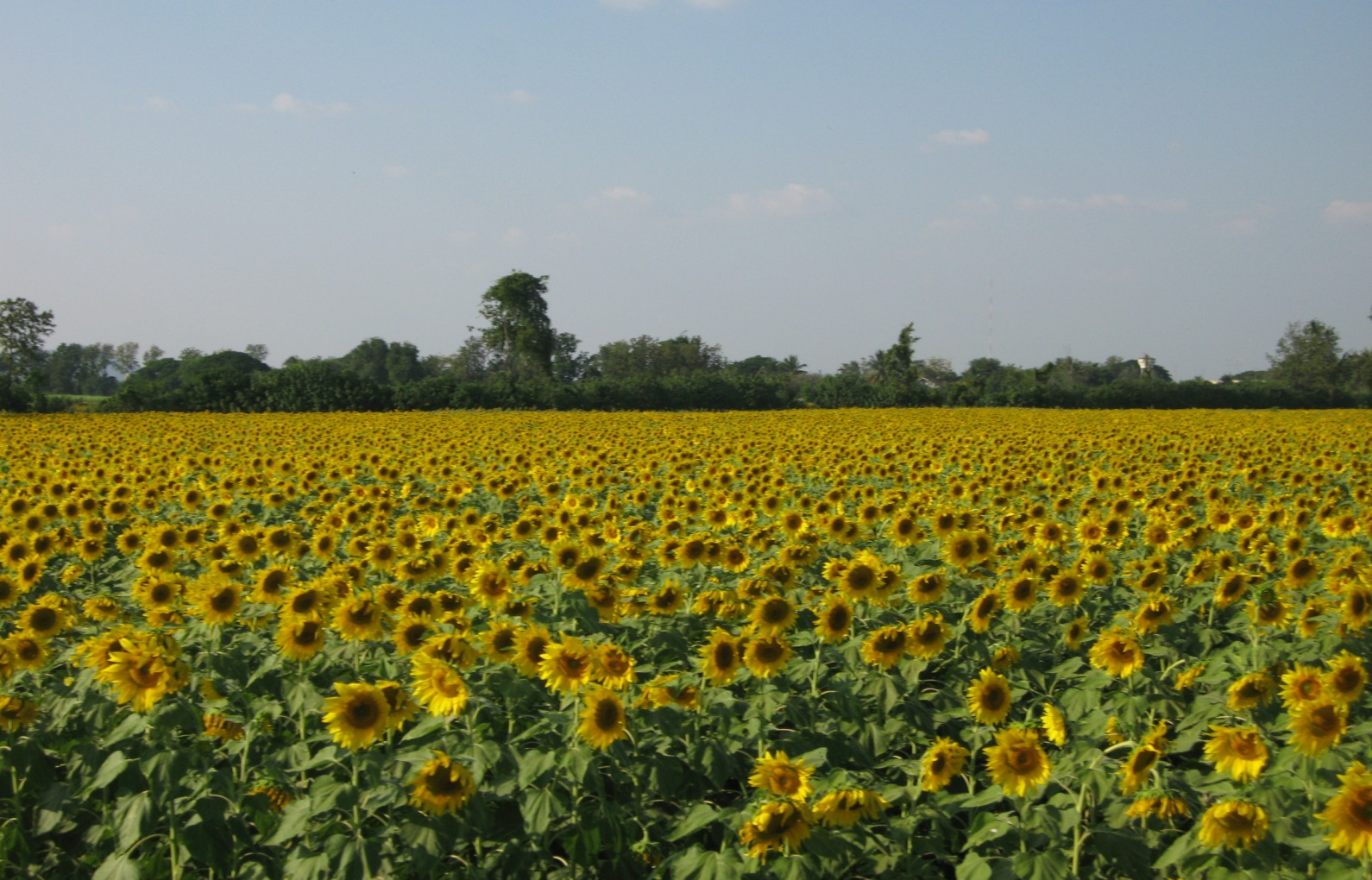 Saraburi Thailand  city pictures gallery : ... in the Footsteps of Chang Noi: Sunflowers in Saraburi Thailand