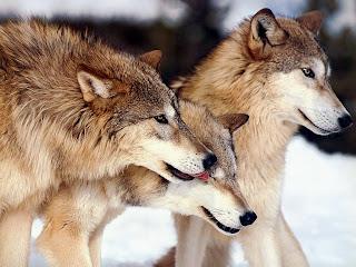 lobo-wolf-image