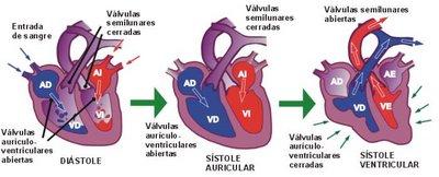 Funciones del corazon humano wikipedia