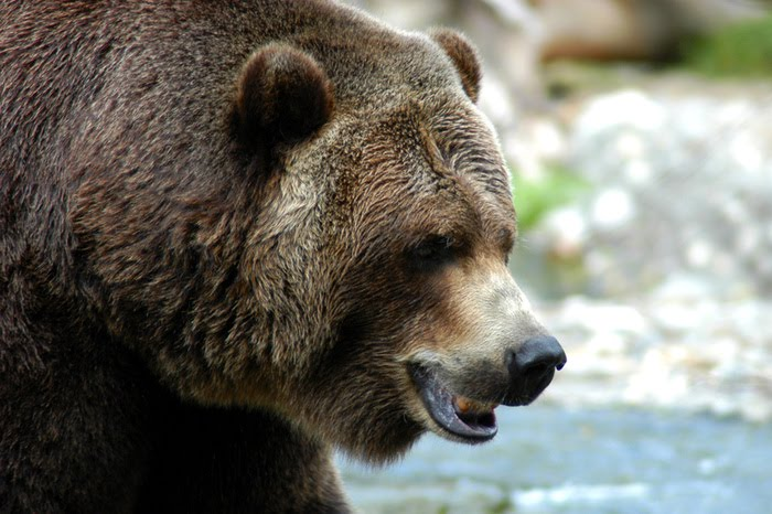 grizzly bear attack. Recent Bear Attacks